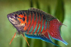 Macropoduri de pește de acvariu