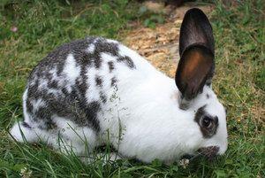 Descrierea raselor de iepuri