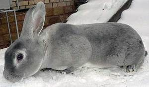 Rabbit Rex