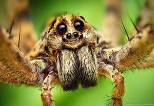Spider organe de viziune