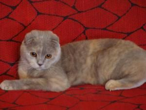 Culoarea pisicilor de tip Scottish Fold