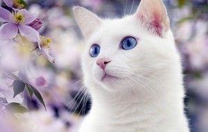 Varietate de rase de pisici albe cu ochi albaștri imagine