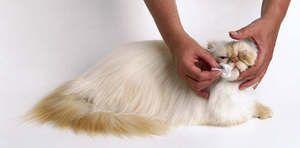 Pisica persană pătrunzătoare
