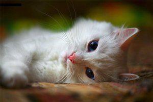 Pisica albă leneșă