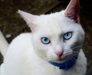 pisica alba cu un aspect expresiv