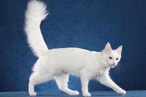 Pisica angora turceasca de est
