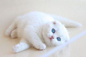 Scottish Fold Pisică albă de lux