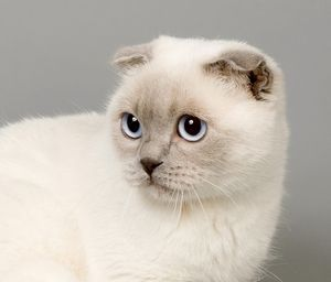 Sweet Scottish cat