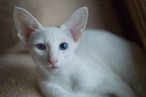 alb pisica orientala
