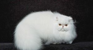 Pisică persană pufoasă
