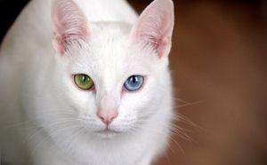 Pisica alba cao mani