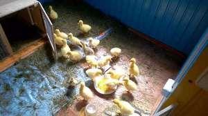 Caracteristicile goslings în creștere în casa din primele zile
