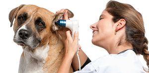 Otita la câine decât tratamentul: otită alergică