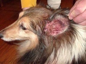 Boala urechilor la câini