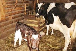 Vaca din vițel