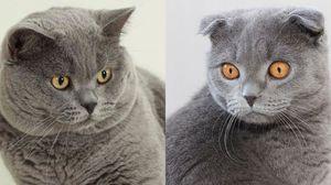 Diferențe între pisicile britanice și scoțiene