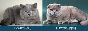 Compararea pisicilor (britanici și scoțieni)