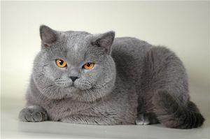 Adult britanic fotografie pisica