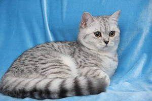 cu pisicuta-british