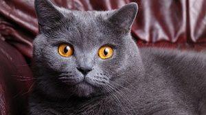 Pisica British Shorthair, ochi mari - fotografie mare