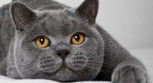 Pisica britanică așteaptă fotografia proprietarului