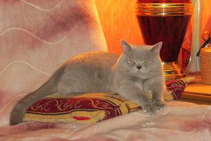 Pisica British Shorthair se odihnește pe pernă