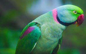 Parrot Cramer
