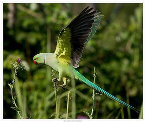 Papagalul de parakeet în zbor