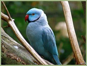 Papagal ars albastru