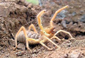 Spider falangă -