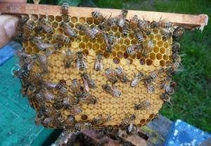 Carne de albine: caracteristicile rasei și caracteristicile albinelor