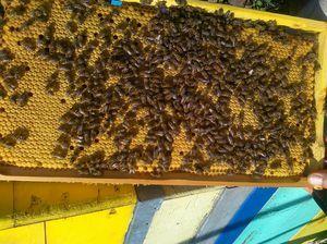 Rasă de albine