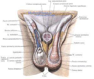 Simptome testiculare de torsiune
