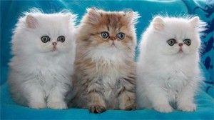 Pisici și pisici persane: o descriere a rasei și regulile de păstrare