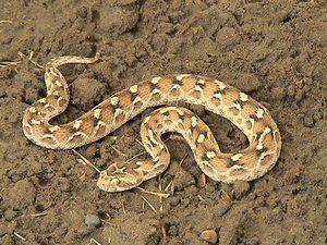 Sand Snake descriere ef