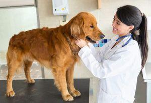 Pyometra la câini simptome și tratament