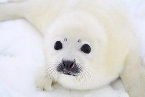 De ce bebelușul unui sigiliu se numește o cârpă albă
