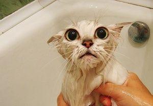 Cum să înveți o pisică să înoate