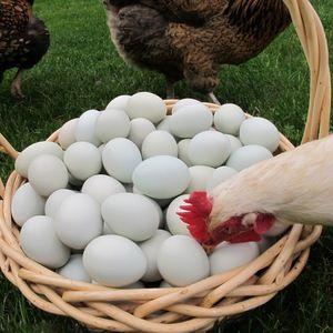 De ce puii își pot mânca ouăle: ce să facă