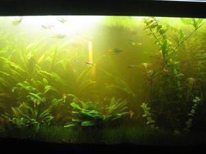 Cum să eliminați ecologizarea apei în acvariu