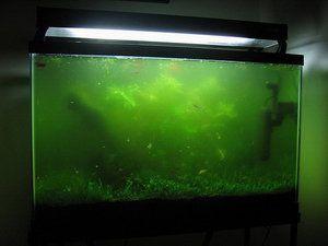 Apă verde în acvariu