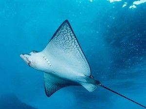 Zboruri subacvatice de raze de mare. Un pește plat plat