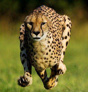 Caracteristicile ghepardului
