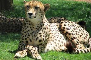 Ce viteză se dezvoltă ghepardul?