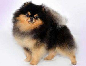 Pomeranian Negru Pomeranian
