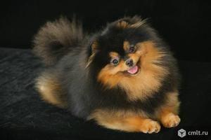 Originea spitzului negru Pomeranian