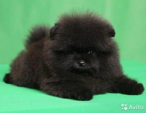 Pregătirea Spitzului Pomeranian