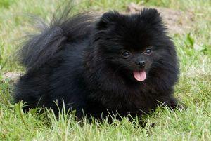 Hrănirea Spitz-ului Pomeranian