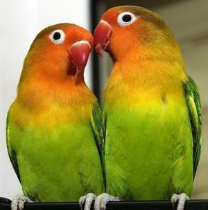 Papagalii sunt inseparabili: trăsături ale speciei, îngrijire și conținut