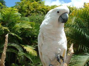 Parrot Cockatoo: o pasăre frumoasă, prieten și prieten